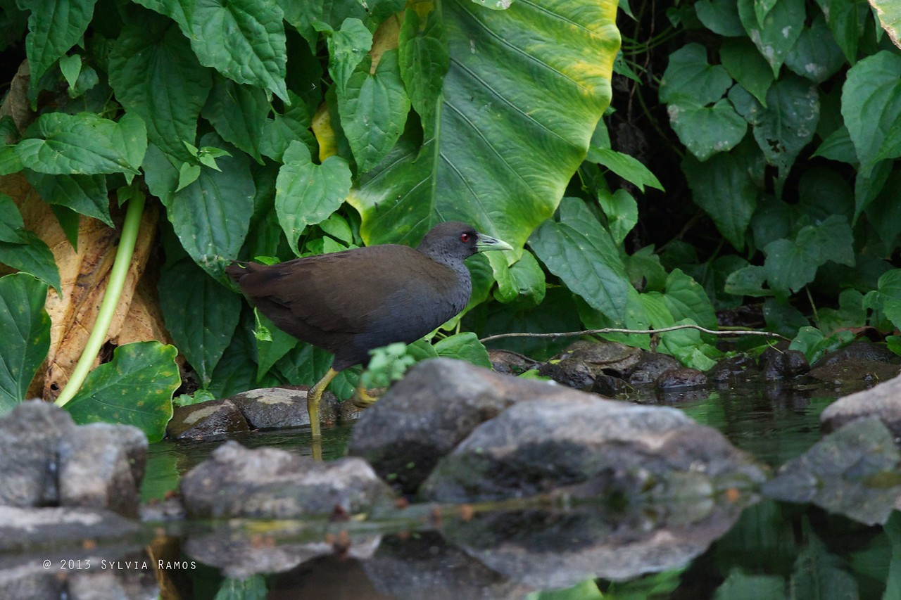 PLAIN BUSH-HEN <i>Amaurornis olivacea</i> Tabucol, Murcia, Negros Occidental