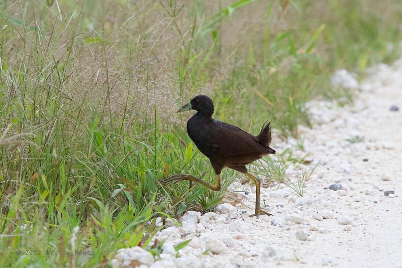 PLAIN BUSH-HEN <i>Amaurornis olivacea</i> PICOP, Bislig, Surigao del Sur