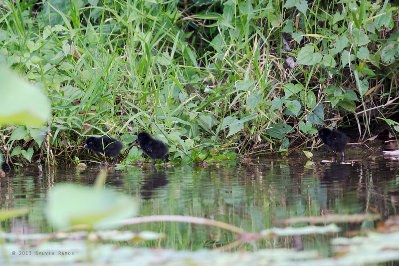 PLAIN BUSH-HEN chicks <i>Amaurornis olivacea</i> Tabucol, Murcia, Negros Occidental