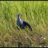 PURPLE SWAMPHEN <i>Porphyrio porphyrio</i> Candaba, Pampanga, Philippines  This Purple Swamphen was sunning itself.