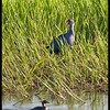 PURPLE SWAMPHEN <i>Porphyrio porphyrio</i> Candaba, Pampanga, Philippines  That's a Little Grebe swimming by.