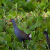PURPLE SWAMPHEN <i>Porphyrio porphyrio</i> Candaba, Pampanga, Philippines