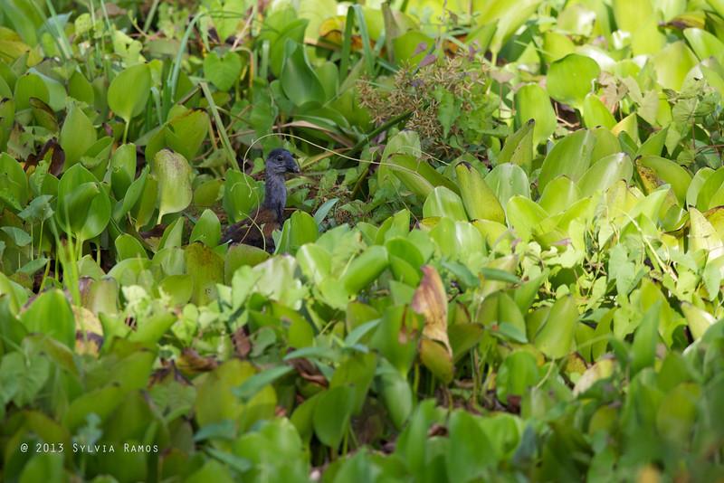 PHILIPPINE SWAMPHEN  <i>Porphyrio pulverulentus</i> Candaba, Pampanga, Philippines