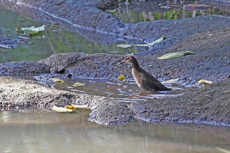 "SLATY-BREASTED RAIL <i>Gallirallus striatus</i> Ayala Alabang Village  Des A said this was a ""youngish"" bird"