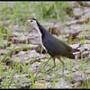WHITE BREASTED WATERHEN <i>Amaurornis phoenicurus</i> Candaba, Pampanga, Philippines