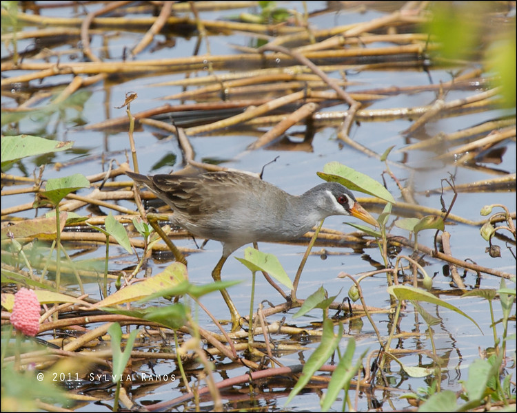 WHITE BROWED CRAKE <i>Porzana cinerea</i> Candaba, Pampanga, Philippines