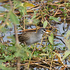 WHITE BROWED CRAKE<i>Porzana cinerea</i> Candaba, Pampanga, Philippines