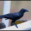 LARGE BILLED CROW <i>Corvus macrorhynchos</i> Subic, Zambales, Philippines