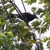 LARGE BILLED CROW <i>Corvus macrorhynchos</i> Ayala Alabang, Muntinlupa, Philippines