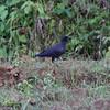 SLENDER-BILLED CROW <i>Corvus enca</i> Sabang, Palawan