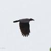 SLENDER-BILLED CROW <i>Corvus enca</i> Narra, Palawan