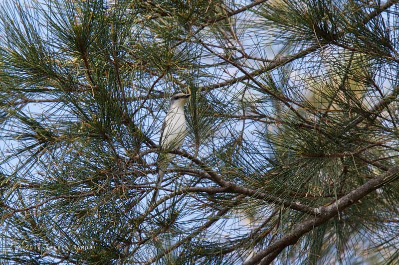 ASHY MINIVET <i>Pericrocotus divaricatus</i> Subic, Philippines