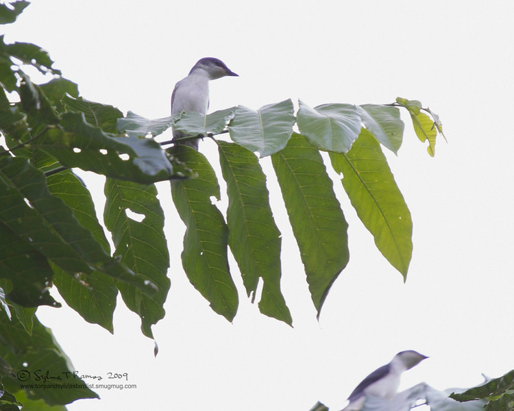 ASHY MINIVET  <i>Pericrocotus divaricatus</i> Makiling, Laguna, Philippines