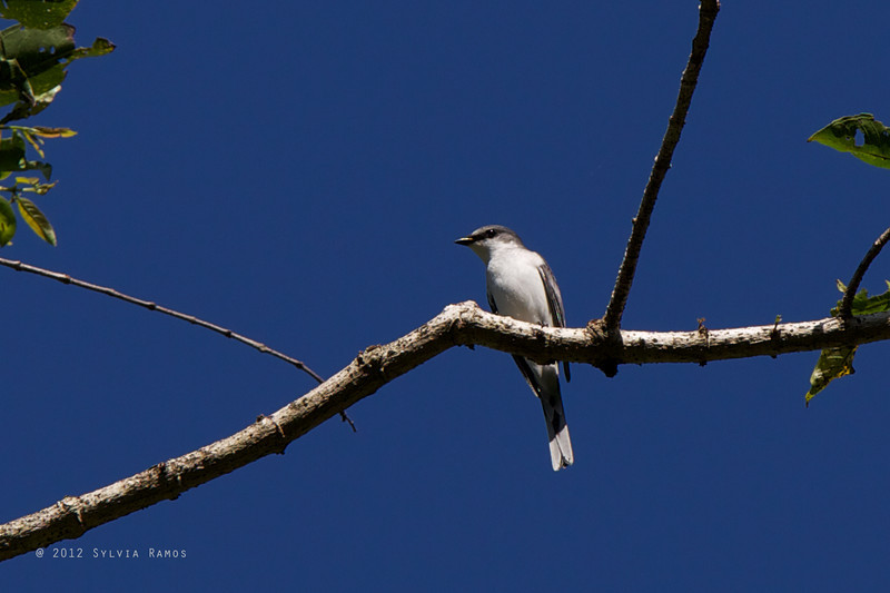 ASHY MINIVET <i>Pericrocotus divaricatus</i> Sablayan Penal Colony, Mindoro Occidental
