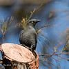 BAR-BELLIED CUCKOO SHRIKE