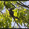 BAR-BELLIED CUCKOO SHRIKE <i>Coracina striata</i> Mt. Palay-palay, Cavite, Philippines