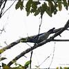 BAR-BELLIED CUCKOO SHRIKE <i>Coracina striata</i> PICOP, Bislig, Surigao del Sur