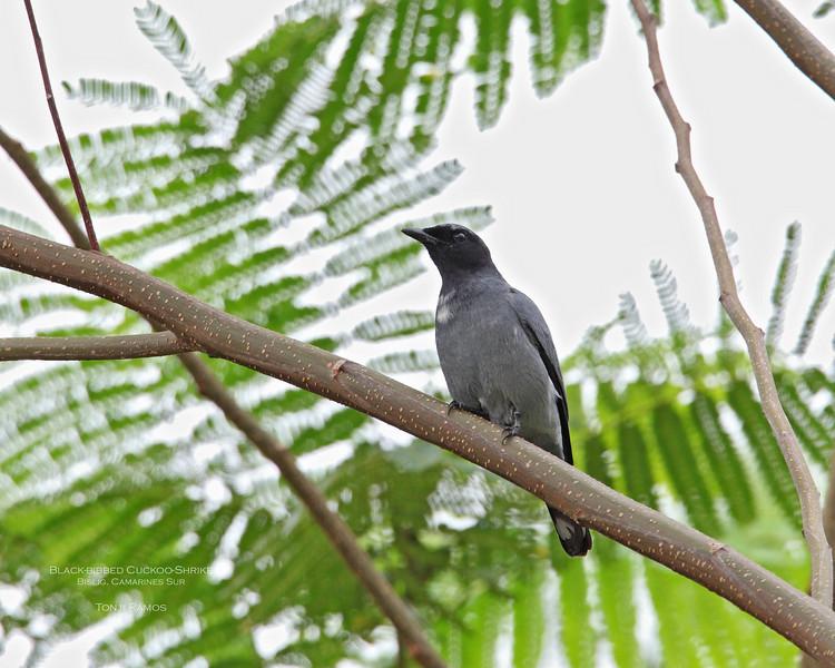 BLACK-BIBBED CUCKOOSHRIKE <i>Coracina mindanensis</i> PICOP, Bislig, Surigao del Sur