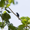 BLACK-BIBBED CUCKOOSHRIKE