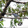 BLACK-BIBBED CUCKOOSHRIKE, female <i>Coracina mindanensis</i> PICOP, Bislig, Surigao del Sur