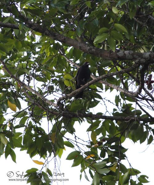 BLACKISH CUCKOSHRIKE <i>Coracina coerulescens</i> Caylabne, Cavite, Philippines