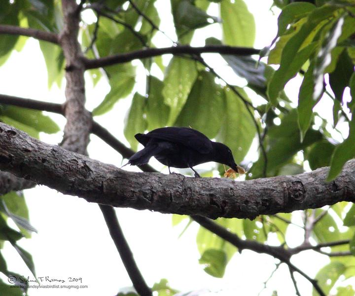 BLACKISH CUCKOSHRIKE <i>Coracina coerulescens</i> Mt Palay Palay, Cavite, Philippines