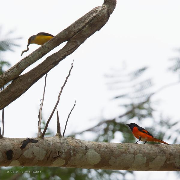 FIERY MINIVET <i>Pericrocotus igneus</i> Sabang, Palawan