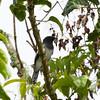 McGREGOR'S CUCKOOSHRIKE  <i>Coracina mcgregori</i> Mt. Kitanglad, Bukidnon, Philippines