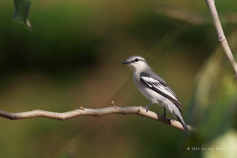 PIED TRILLER <i>Lalage nigra</i> Filinvest, Muntinlupa  This photo came out in the Philippine Daily Inquirer, 13 April 2014 http://newsinfo.inquirer.net/593885/behind-munti-condos-a-treat-for-birding-eyes
