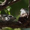 PIED TRILLER, nestlings <i>Lalage nigra</i> Alabang, Muntinlupa, Philippines