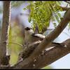 PIED TRILLER, female <i>Lalage nigra</i> Alabang, Muntinlupa, Philippines