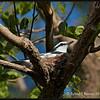PIED TRILLER <i>Lalage nigra</i> Alabang, Muntinlupa, Philippines
