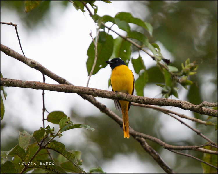 SCARLET MINIVET, male <i>Pericrocotus flammeus</i> PICOP, Bislig, Surigao del Sur
