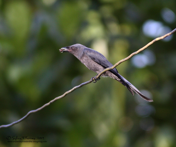 ASHY DRONGO <i>Dicrurus leucophaeus</i> Sabang, Palawan, Philippines