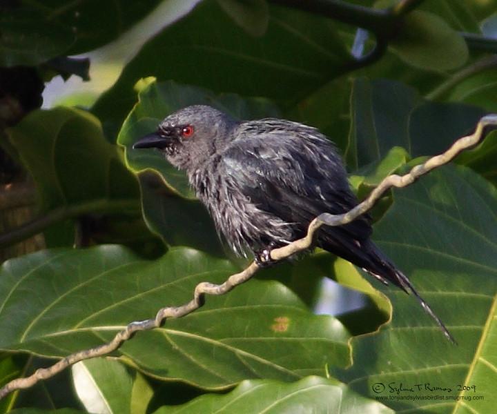ASHY DRONGO, immature <i>Dicrurus leucophaeus</i> Sabang, Palawan, Philippines