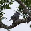 ASHY DRONGO <i>Dicrurus leucophaeus</i> Coron, Palawan, Philippines