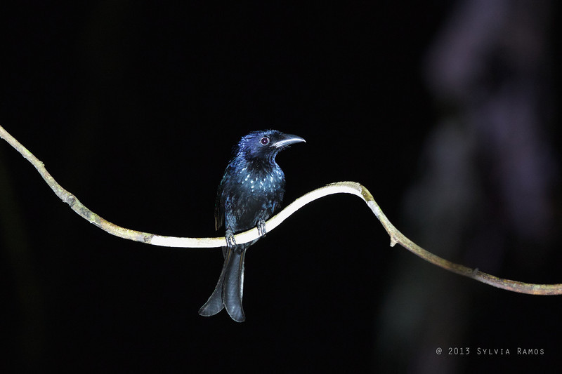 HAIR-CRESTED DRONGO <i>Dicrurus hottentottus</i> Sabang, Palawan  Surprised this Spangled Drongo when we were owling.