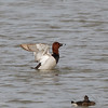 COMMON POCHARD <i>Aythya ferina</i> Candaba, Pampanga