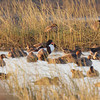 COMMON SHELDUCK <i>Tadorna tadorna</i> Candaba, Pampanga, Philippines