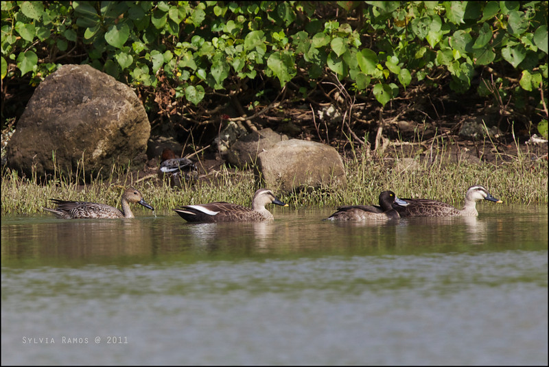 EASTERN SPOT-BILLED DUCK <i>Anas poecilorhyncha</i> Sabtang, Batanes  Spot-billed Ducks with a female Northern Pintail, female Tufted Duck, and a male Eurasian Wigeon in the back.