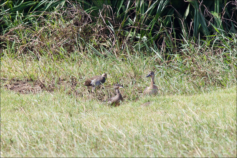EURASIAN TEAL, female <i>Anas crecca</i> Sabtang, Batanes, Philippines  with an immature Common Moorhen and a Garganey