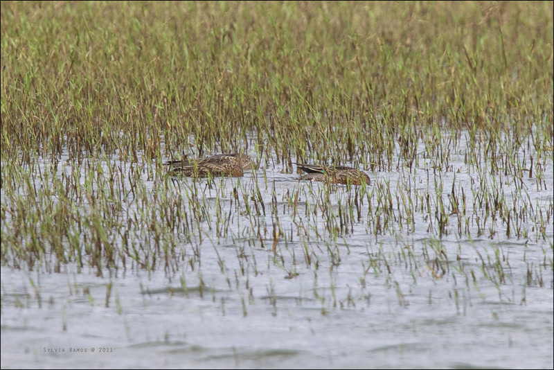 EURASIAN TEAL, female <i>Anas crecca</i> Sabtang, Batanes, Philippines  this shot shows the bright green speculum