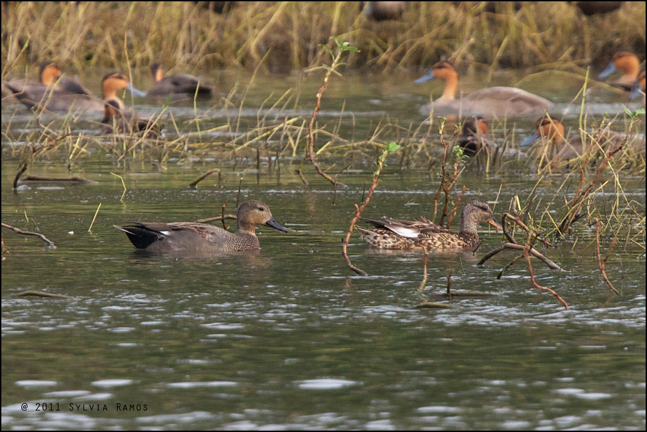 GADWALL, male on the left and female on the right <i>Anas strepera</i> Pagudpud, Ilocos Norte