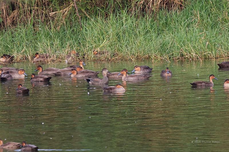 GADWALL <i>Anas strepera</i> Laoag, Ilocos Norte  comparing the size with Philippine Ducks