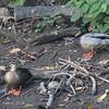 MALLARD, with a Spot-billed Duck