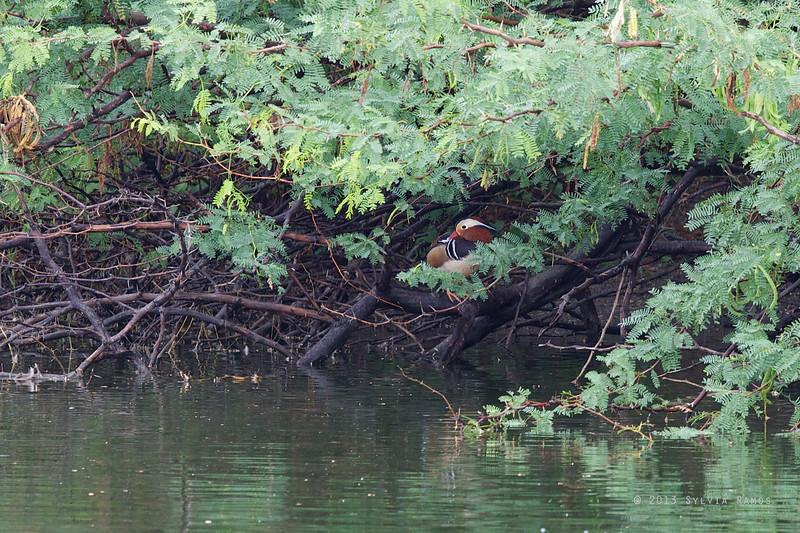 MANDARIN DUCK <i>Aix galericulata </i> Laoag, Ilocos Norte  The Mandarin Duck hiding in the shrubs.