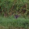 MANDARIN DUCK <i>Aix galericulata </i> Laoag, Ilocos Norte