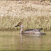 NORTHERN PINTAIL, female <em>Anas acuta</em> Sabtang, Batanes, Philippines