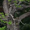PHILIPPINE DUCK <i>Anas luzonica</i> Saud, Pagudpud, Ilocos Norte  perched on a tree!