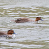 PHILIPPINE DUCK <i>Anas luzonica</i> Saud, Pagudpud, Ilocos Norte  This is their full speed swimming. Note the wake and how the front of their body seems to go lower.